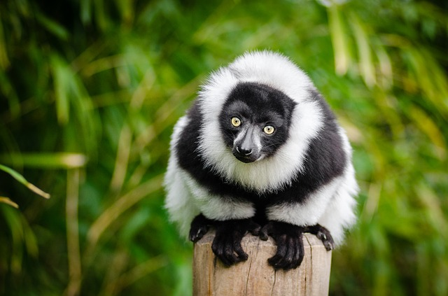 lemur na kůlu